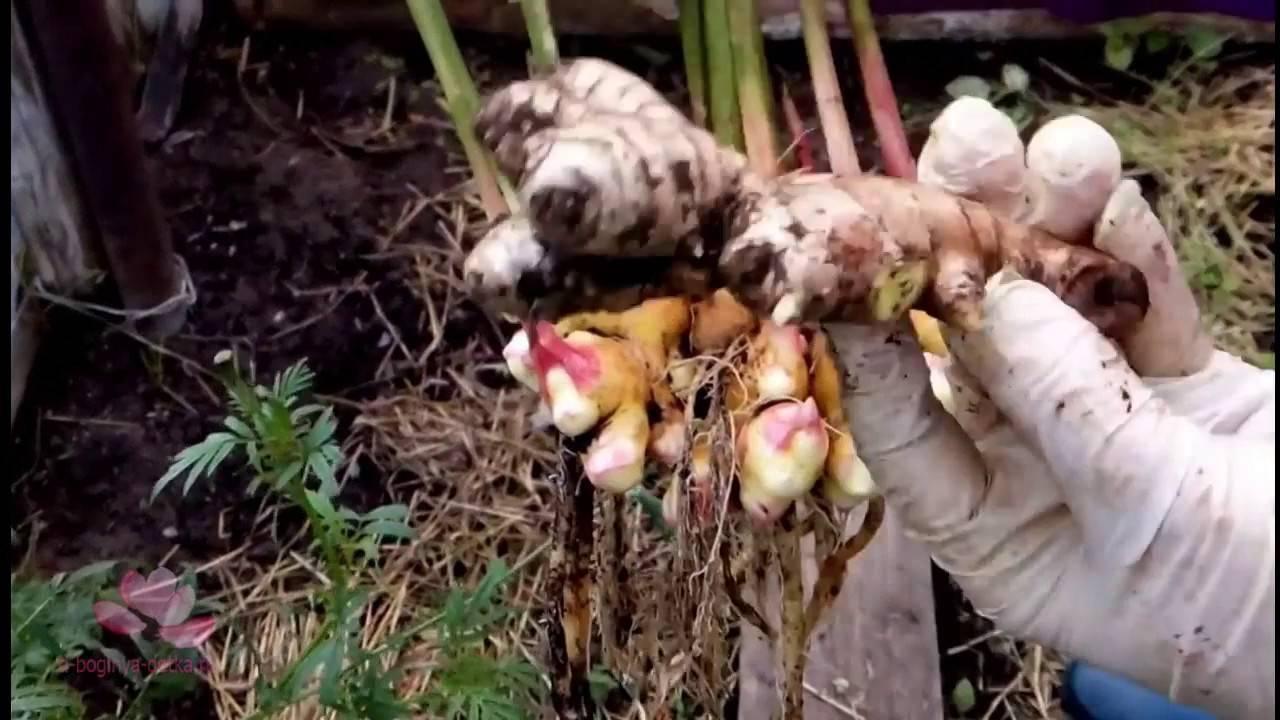Как вырастить имбирь в открытом грунте: посадка и выращивание на огороде и даче, можно ли посадить его из корня, как правильно выращивать семена и видео