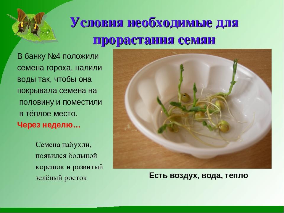 Как быстро вырастить фасоль в домашних условиях