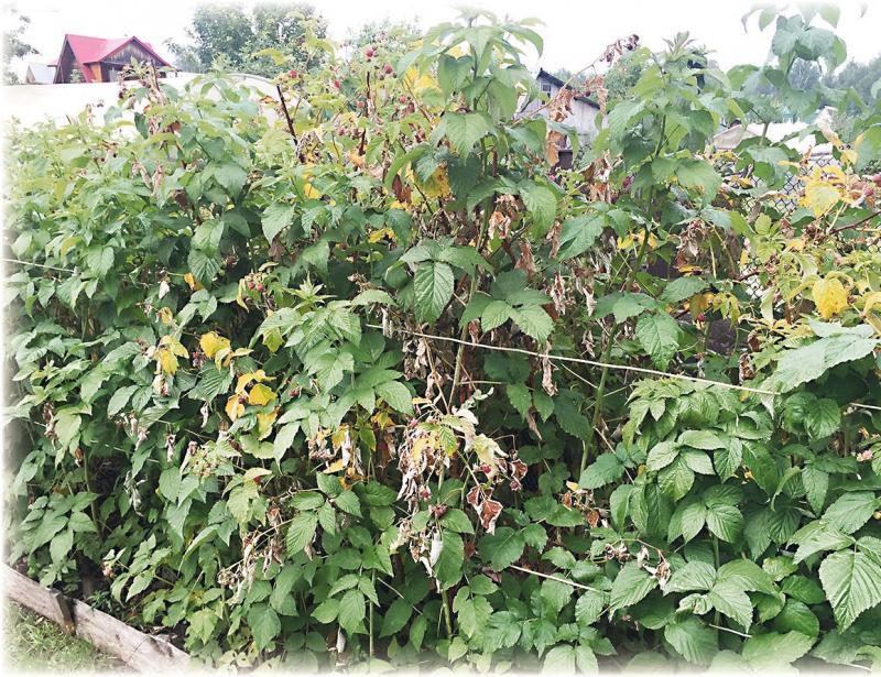 Почему ягоды малины рассыпаются на крупинки: ошибки ухода или другие причины - etocvetochki.com