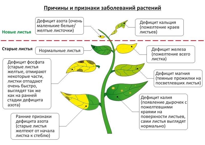 У рассады перца опадают листья: какие причины и что делать