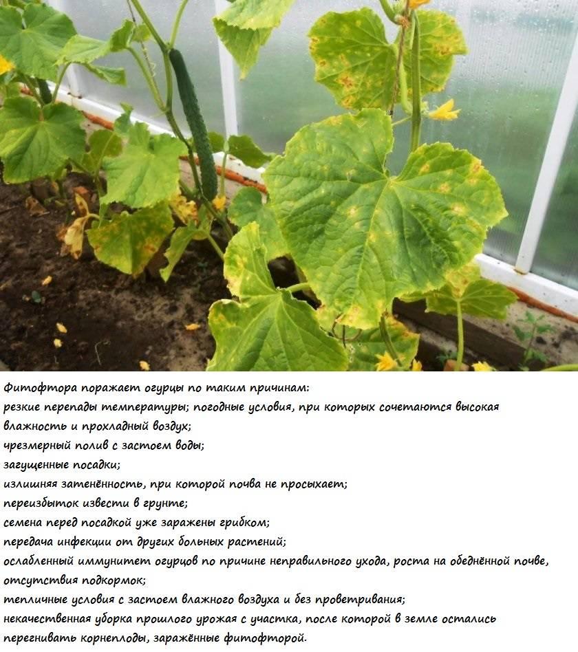 Причины, почему у огурцов белеют листья и что делать для лечения