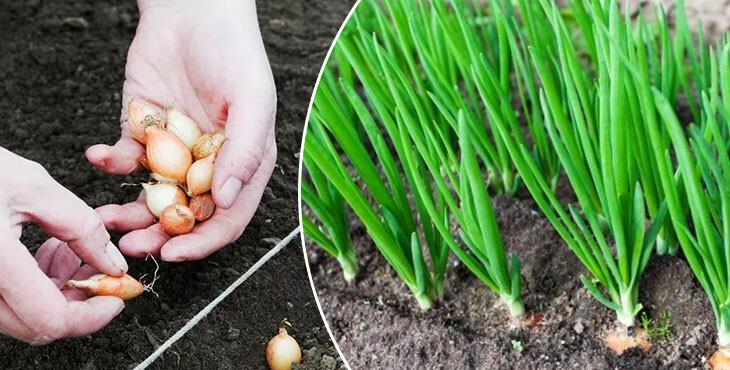 Выращивание лука в открытом грунте и домашних условиях: правила агротехники и особенности ухода