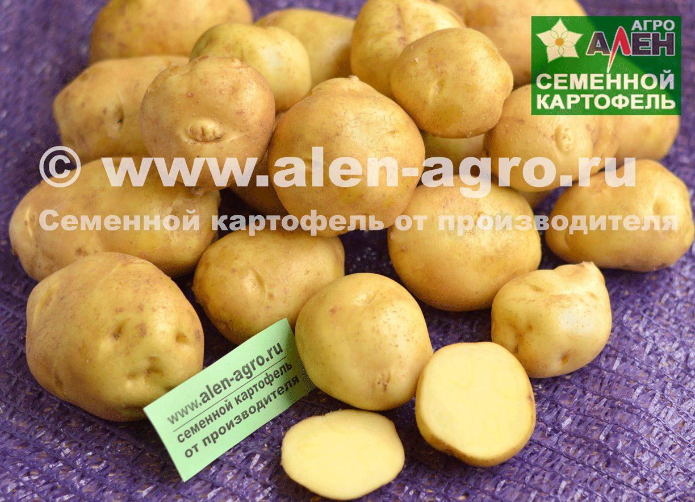 """Картофель """"голубизна"""": описание и характеристика сорта, фото, отзывы"""