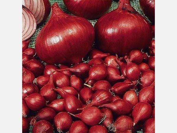 Лук кармен - самый полезный употребляемый овощ с огорода