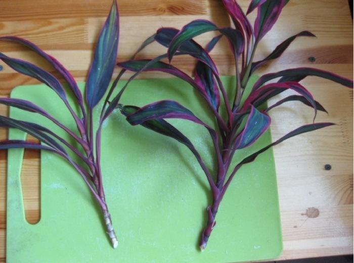 Кордилина: уход в домашних условиях, размножение, что делать, если сохнут листья, виды с фото