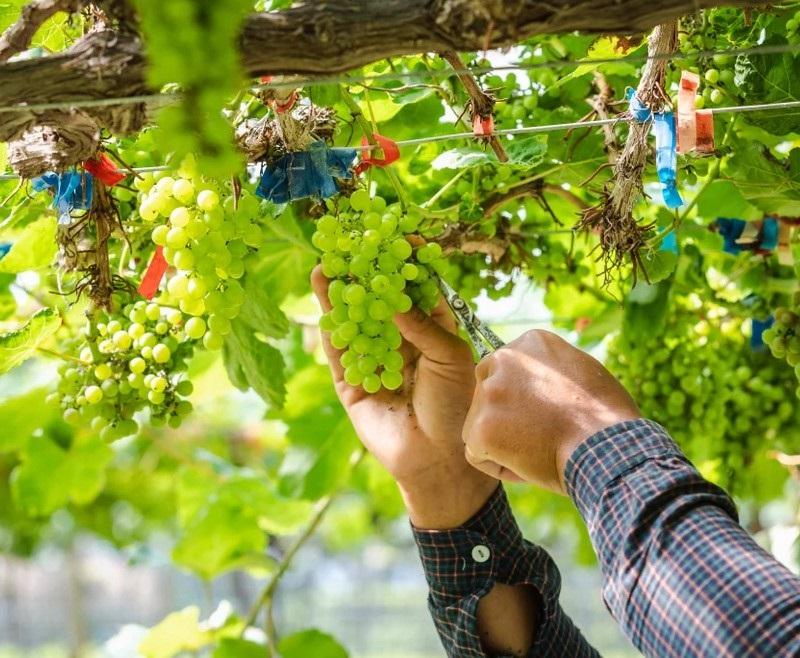 Чем подкормить виноград после цветения, рецепты