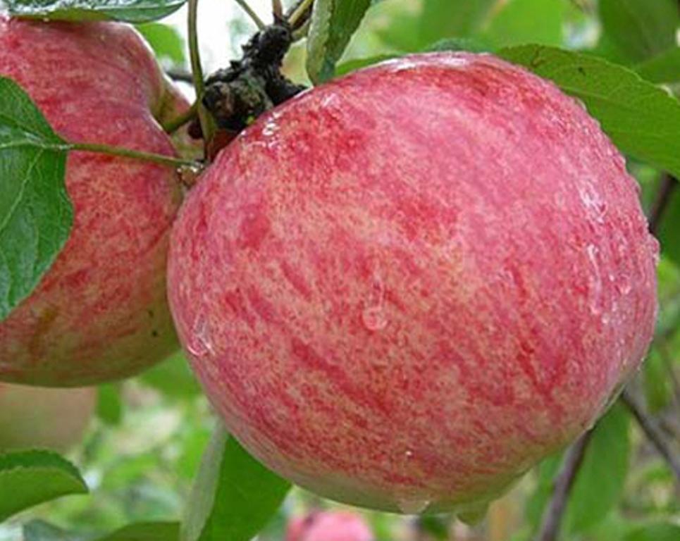 Яблоня штрейфлинг (штрифель) — описание сорта полосатка