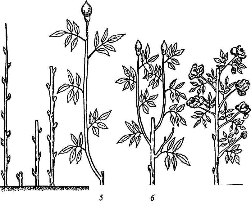 Как размножить барбарис самостоятельно в домашних услових. способы размножения растения