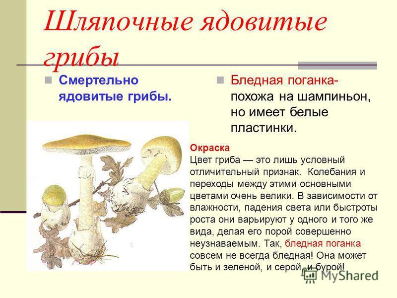 Характеристика «царского гриба»