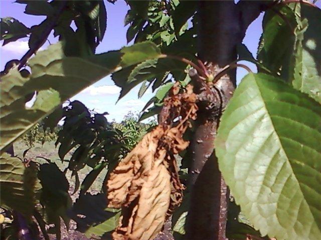 У черешни скрутились листья - что это означачает? | фермер у черешни скрутились листья — это норма или патология? | фермер