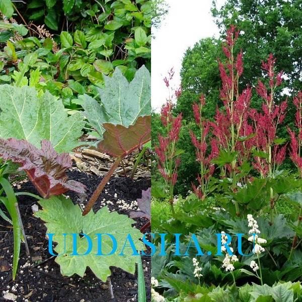 Ревень: выращивание из семян, посадка и уход в открытом грунте, что это такое, как его едят?