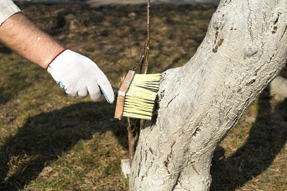 Как белить яблони весной, летом и осенью: лучшие составы и пошаговая инструкция