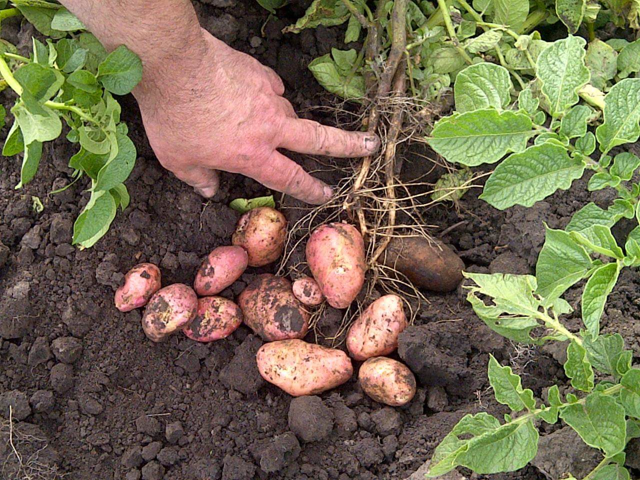 ᐉ картофель рогнеда описание сорта, характеристика, фото - orensad198.ru