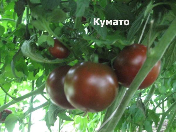 Описание достоинств и недостатков, все характеристики сорта томата «черная груша»