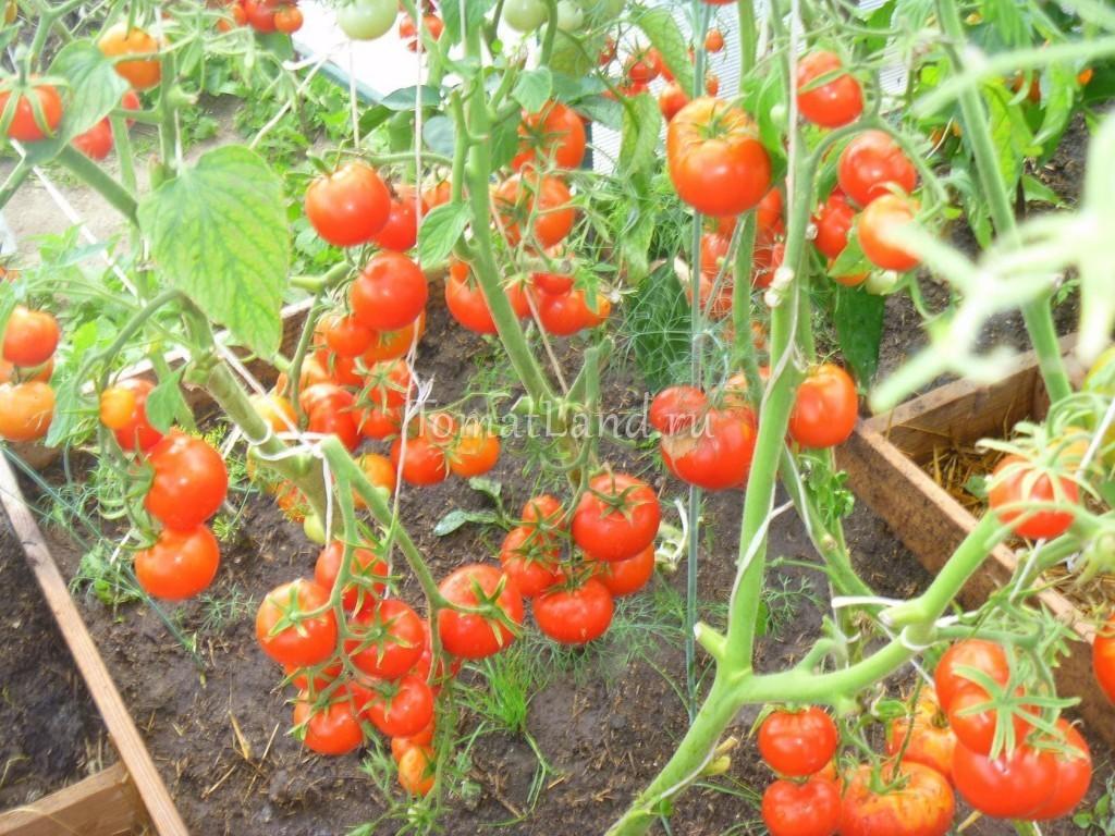 """Томат """"евпатор"""": характеристика и описание сорта, урожайность и фото русский фермер"""