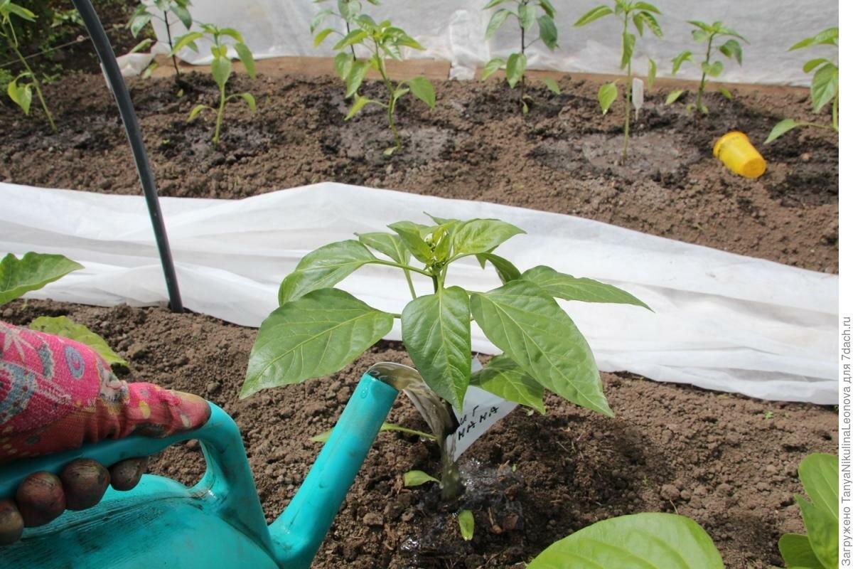 Перец: посадка и уход, как вырастить из семян в открытом грунте, фото