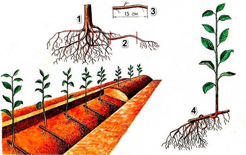 Ответы на вопросы: «можно ли и как пересаживать яблоню 3 — 5 лет?»