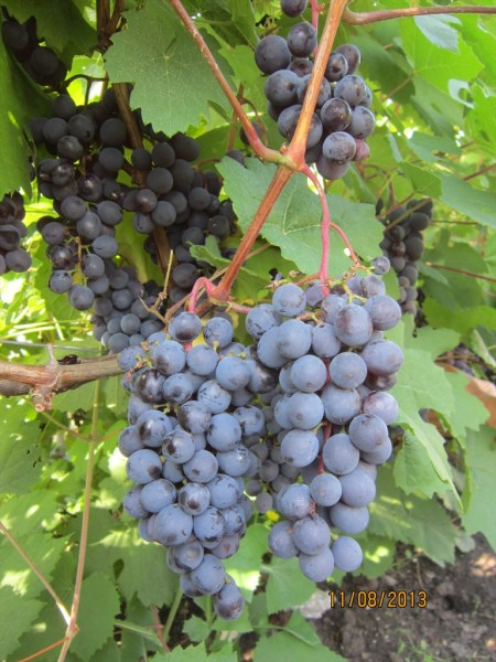Виноград фиолетовый ранний: характеристика и описание сорта, технология выращивания, отзывы виноградарей