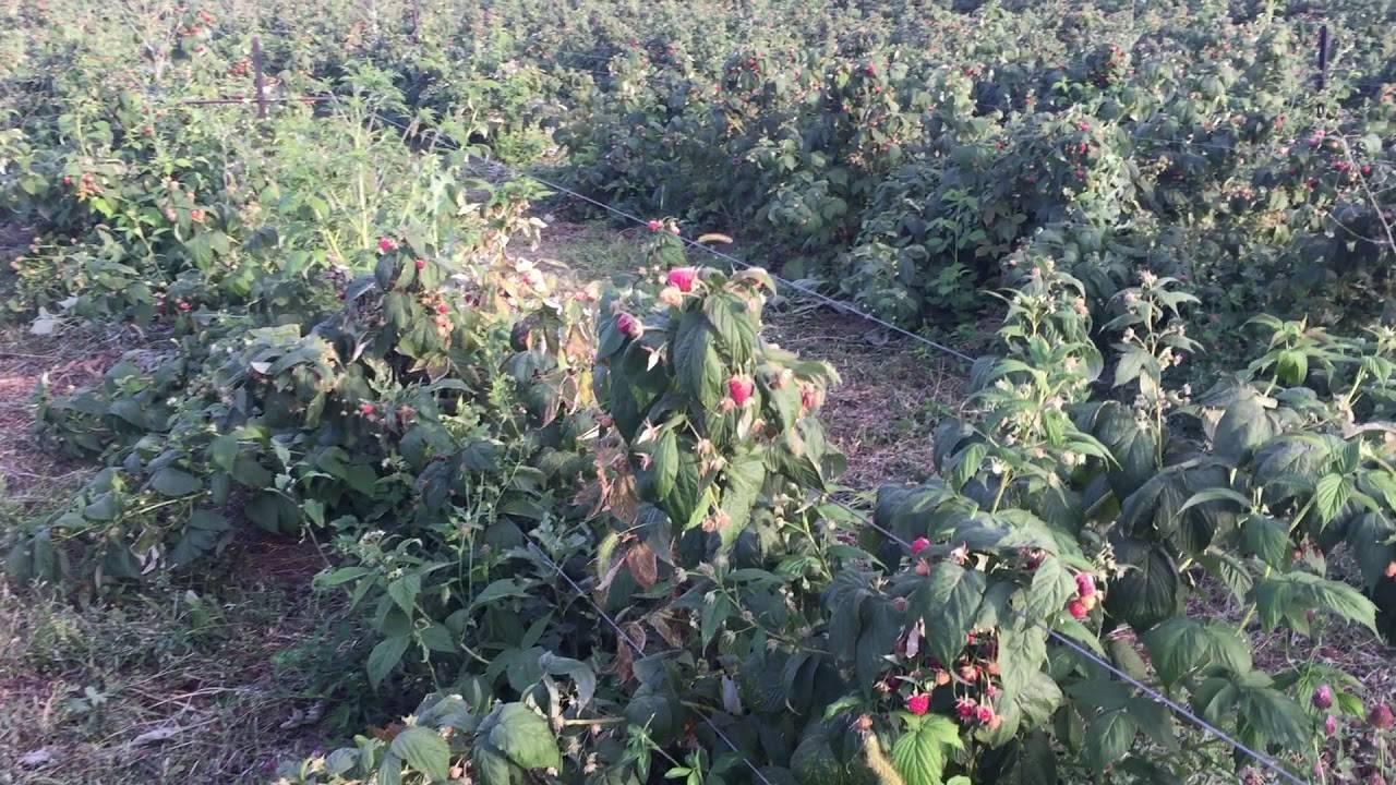 Малина полана: фото, описание сорта, урожайность с одного куста