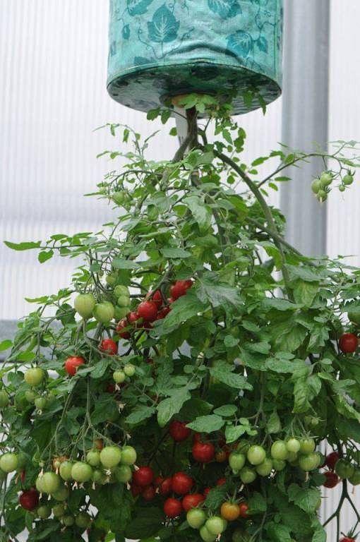Креативный огород, или грядка вверх ногами. выращивание растений в перевёрнутом виде. фото — ботаничка.ru