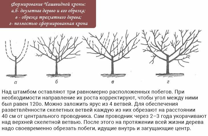 Полив вишни: как правильно это делать в разные периоды роста