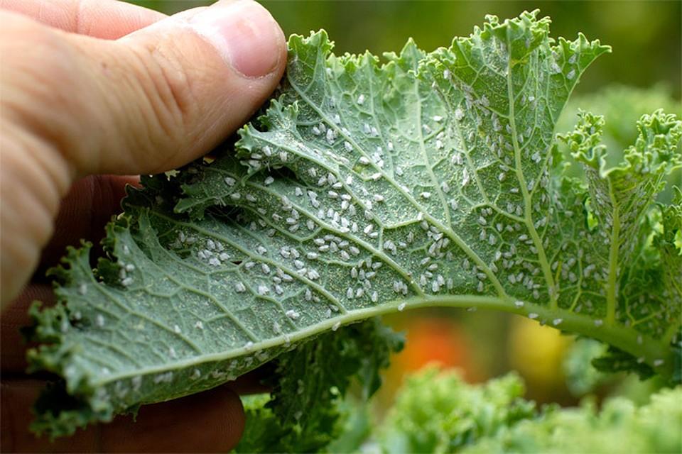 Как бороться с белокрылкой? в теплицах, на комнатных растениях. как избавиться? фото — ботаничка.ru