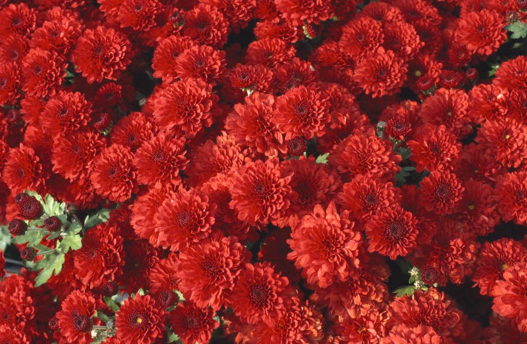 Особенности выращивания хризантемы мультифлора