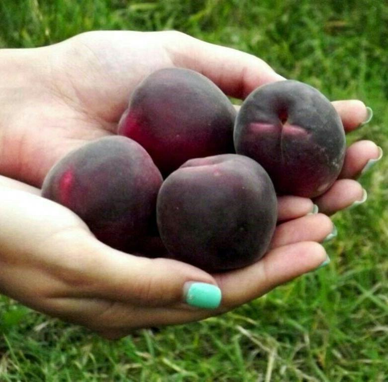 Абрикос черный принц - фото и описание сорта, особенности выращивания и отзывы