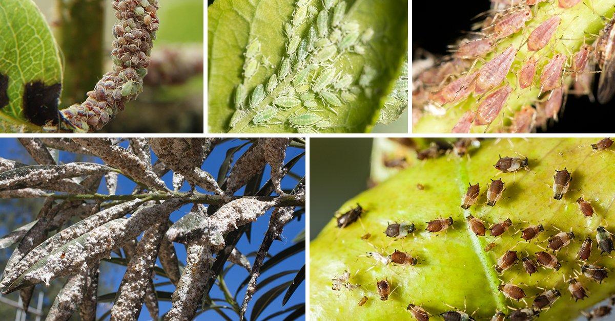 Вредитель листовертка: как бороться на яблоне, груше, фото, препараты и средства