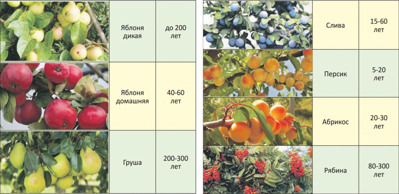 На какой год после посадки плодоносит вишня: когда и через сколько начинает