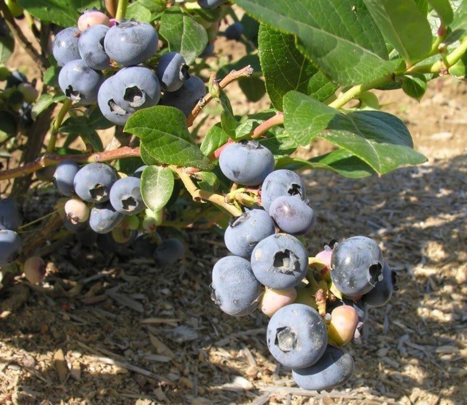 Голубика патриот: описание, посадка и уход за растением, болезни и вредители