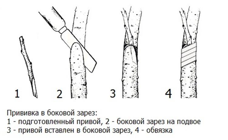 Совместимость подвоя и привоя плодовых деревьев: на что прививать? на supersadovnik.ru