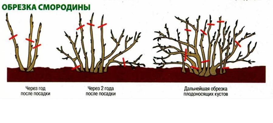Как ухаживать за черешней? полив, обрезка, внесение удобрений по сезонам