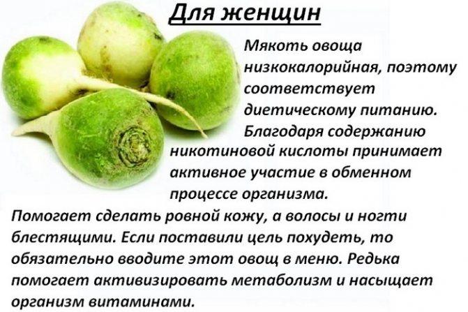 Полезные свойства и противопоказания зеленой маргеланской редьки для здоровья