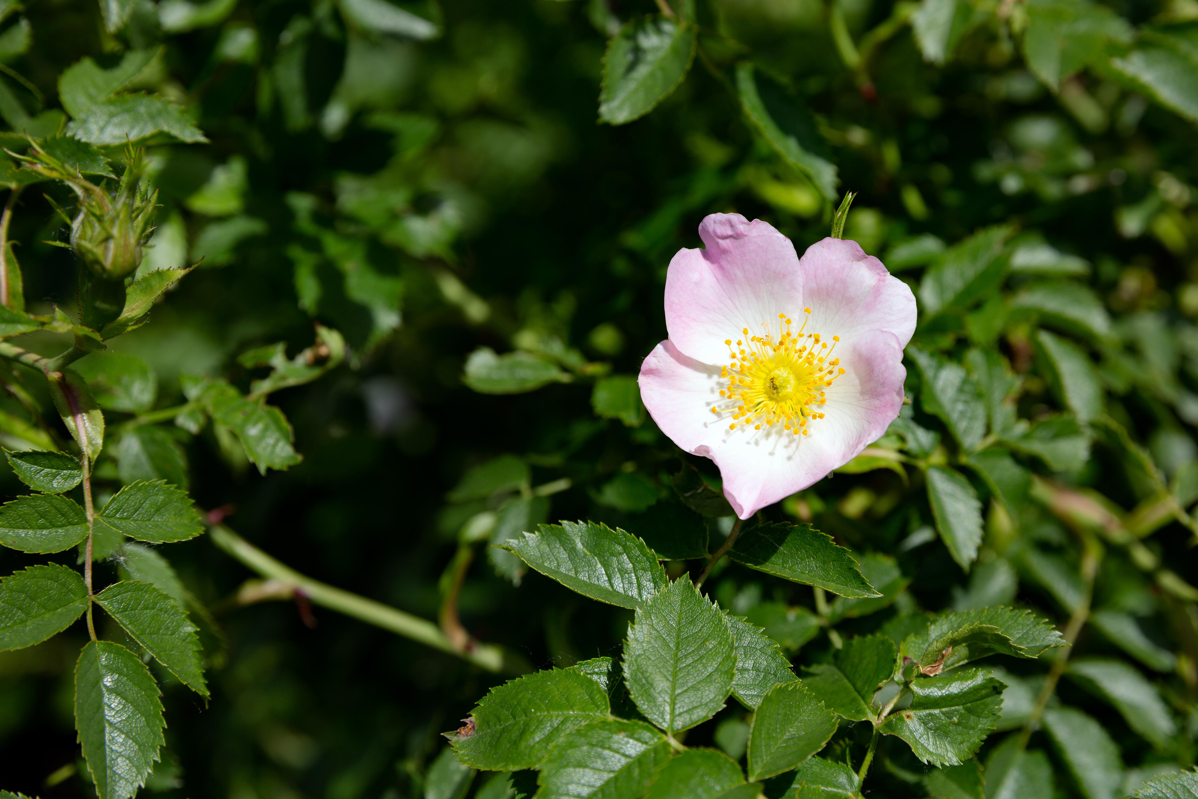 Шиповник собачий: как выглядит роза канина, лекарственные травы, как отличить концентрат