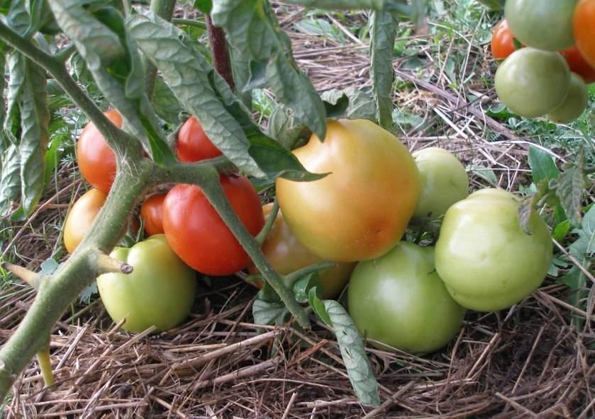 Томаты для красноярского края лучшие сорта. томаты — лучшие сорта для открытого грунта | дачная жизнь
