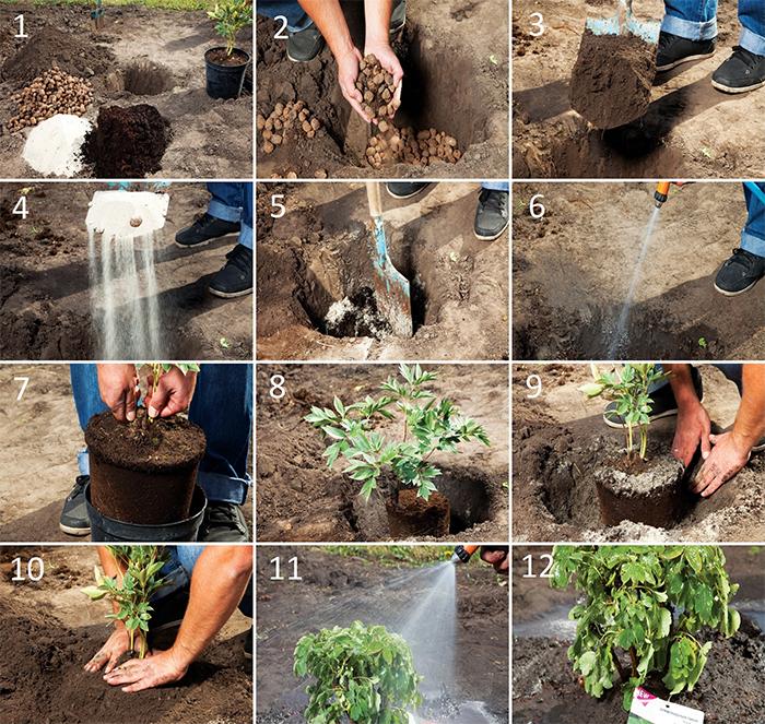 Садовые каллы: описание, посадка и уход в открытом грунте