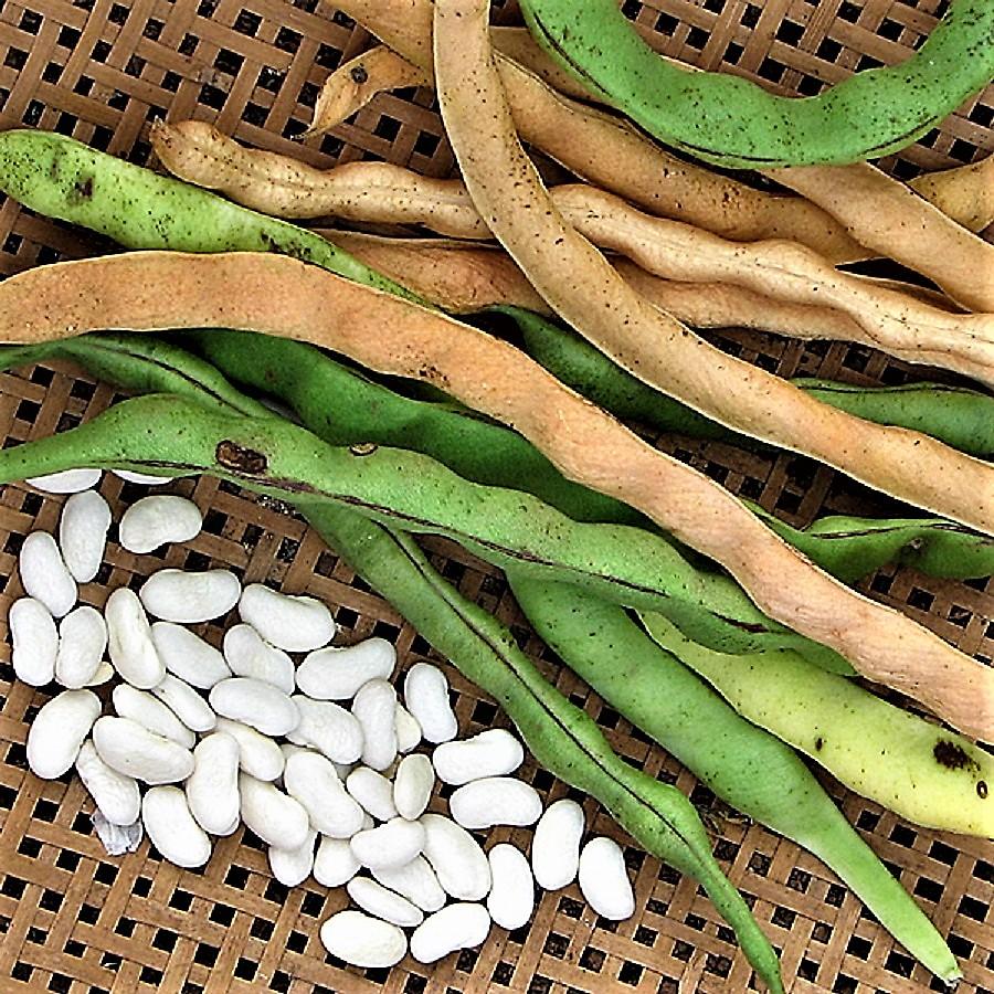 Фасоль: сорта и виды, фото с описанием