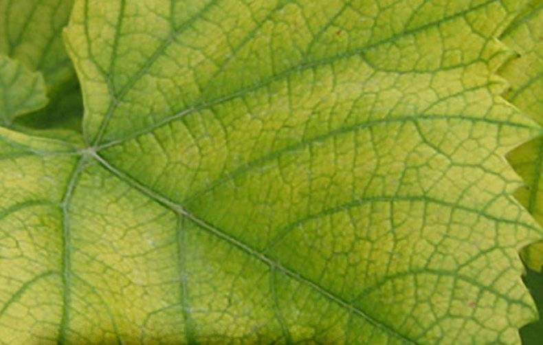 Причины и лечение хлороза растений — советы от лигногумат | москва