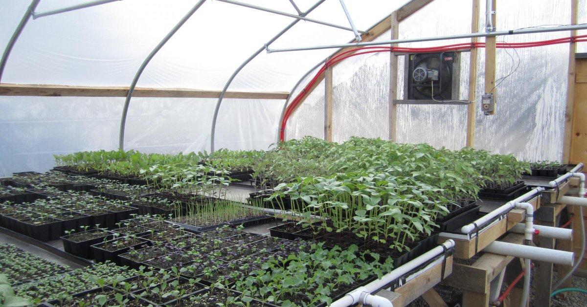 Выращивание базилика в теплице и уход за ним