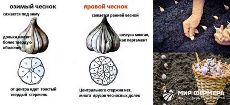 Яровой чеснок - выращивание и уход в открытом грунте
