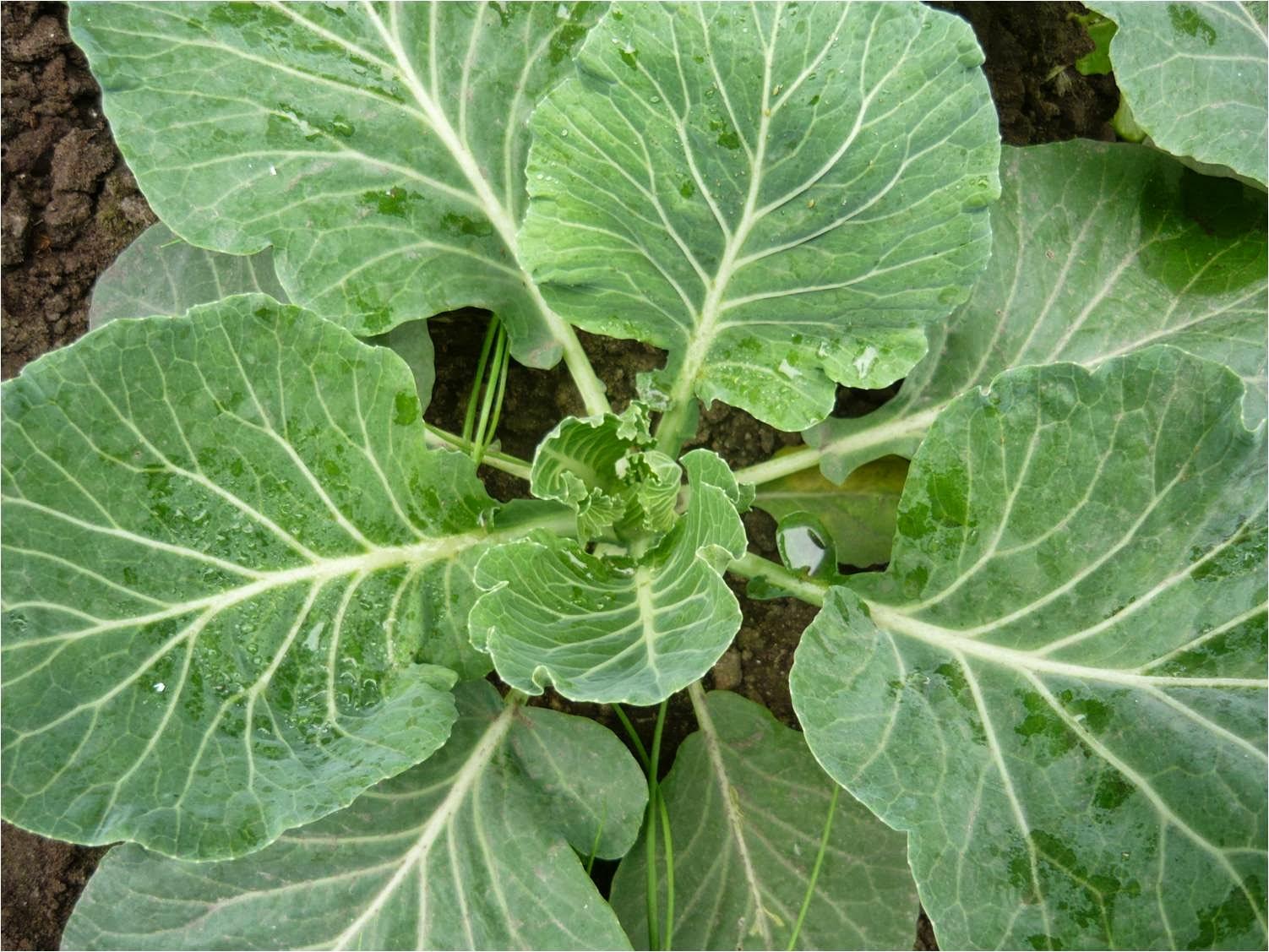 У меня проблема при выращивании капусты
