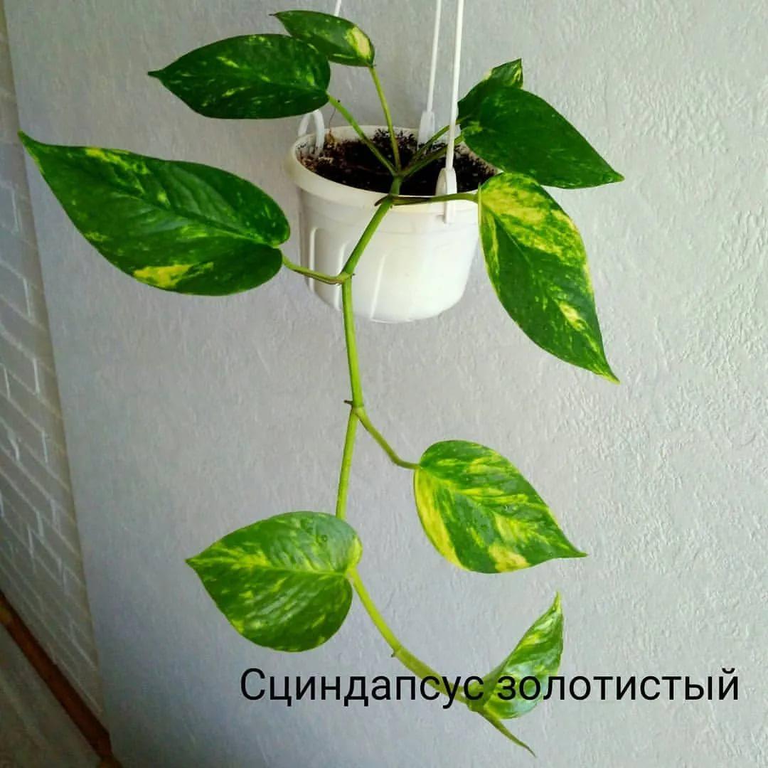 Эпипремнум золотистый: правильный уход в домашних условиях за растением (фото)