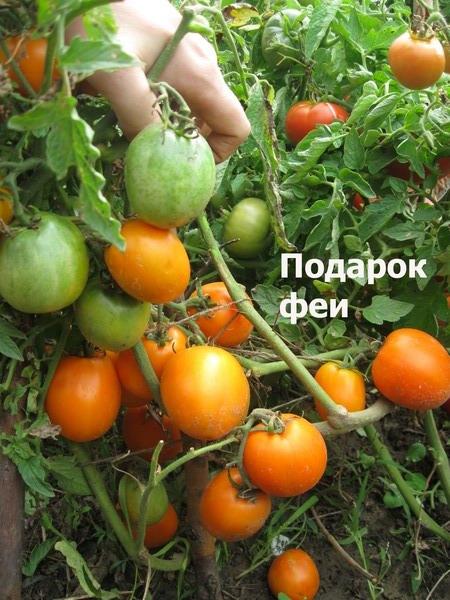 Томат подарок феи: описание, урожайность сорта, отзыв, фото