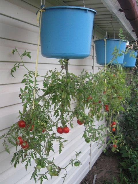 Помидоры вверх ногами: выращивание растений в перевернутом виде