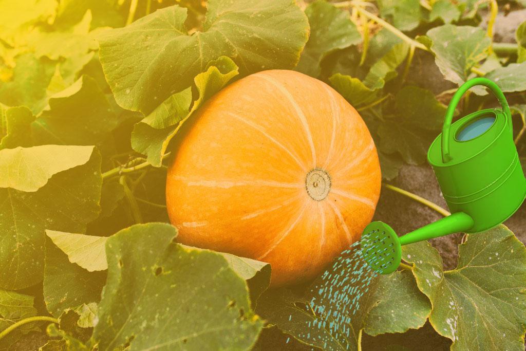 Выращивание тыквы в открытом грунте: правила и способы посадки и особенности ухода