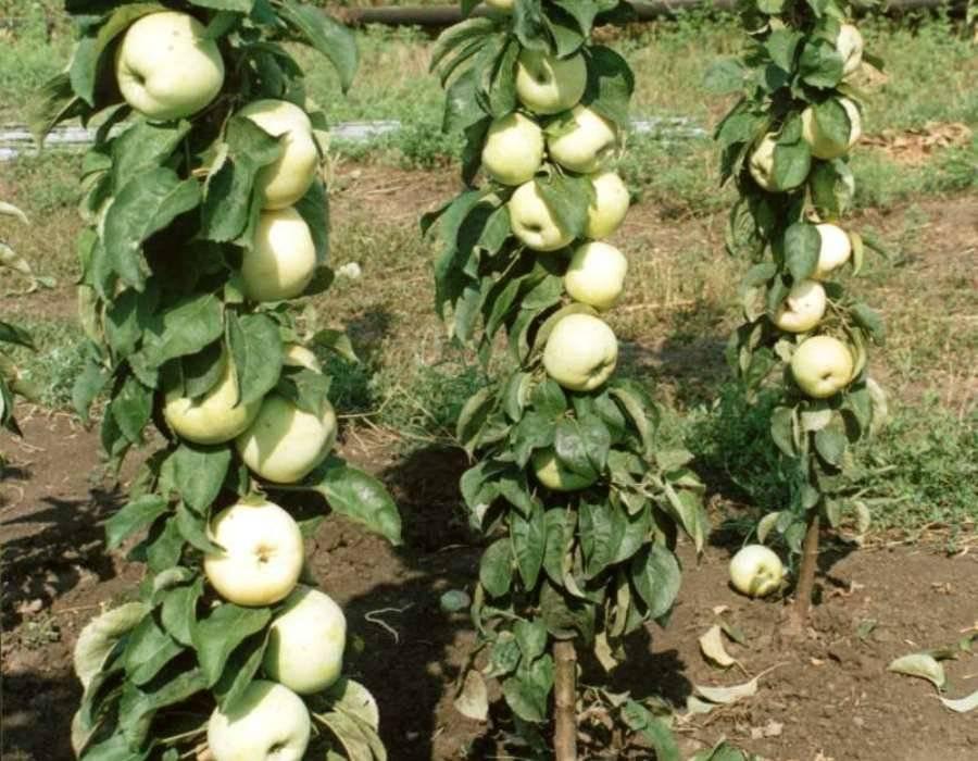 Колоновидная яблоня: фото и описание сортов, посадка,уход и формирование колоновидных яблонь