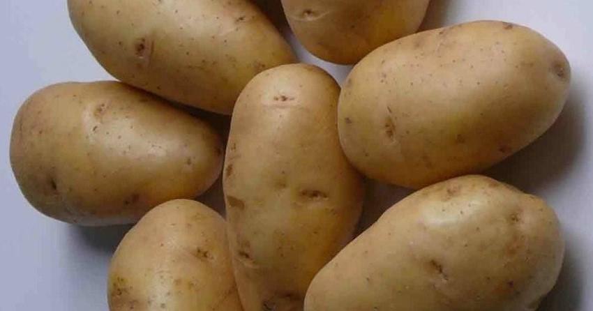 ᐉ сорт картофеля «зорачка» – описание и фото - roza-zanoza.ru