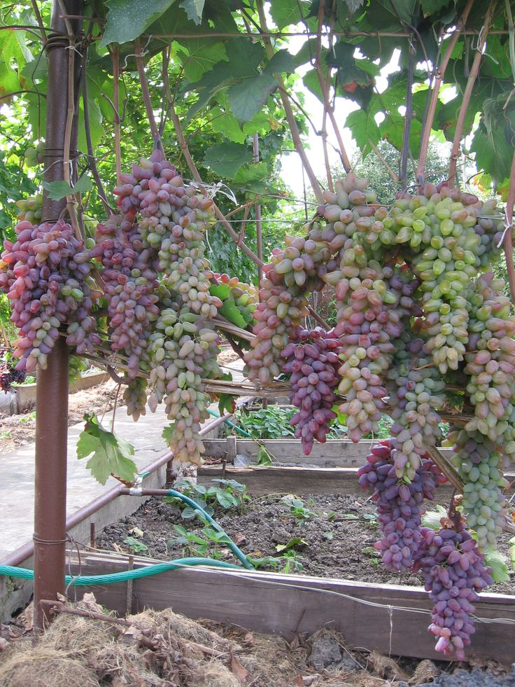 Виноград - 80 фото винных и технических сортов божественной ягоды вынограда