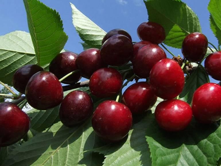 Обзор 9 лучших сортов вишни для ленинградской области